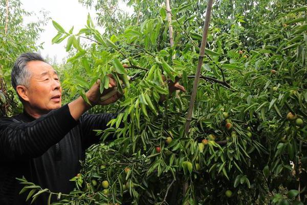 为什么要发展枣树