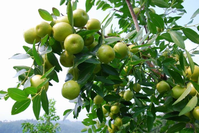 家乡的枣树