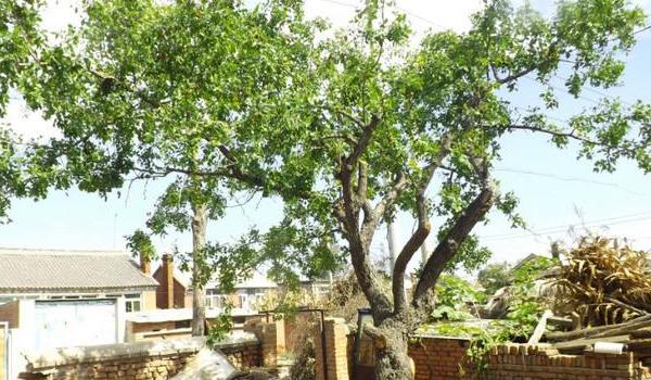 怀念家乡的枣树