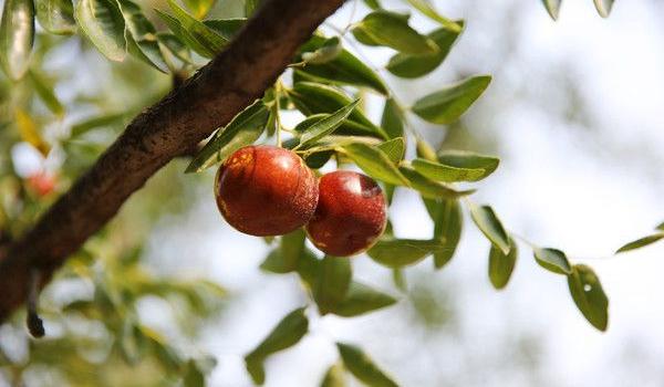 怀念曾经的枣树
