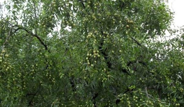 故乡的枣树