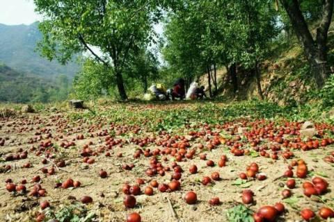 红枣滞销被网商盘活市场