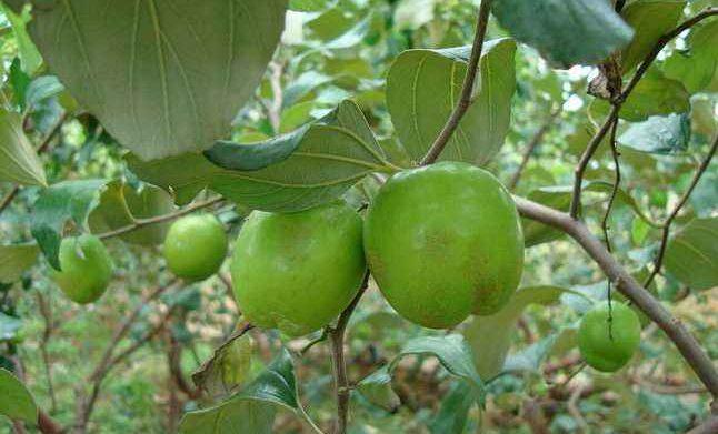 台湾青枣有哪些品种