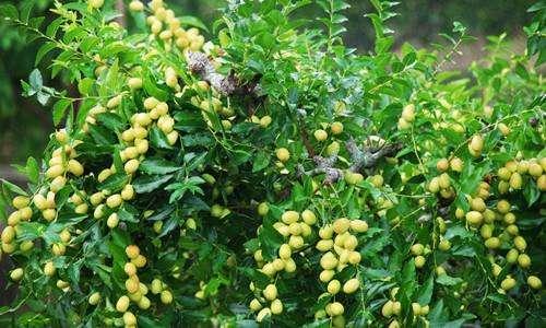 枣树病虫介绍和防治