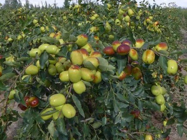新疆大枣的生长时期