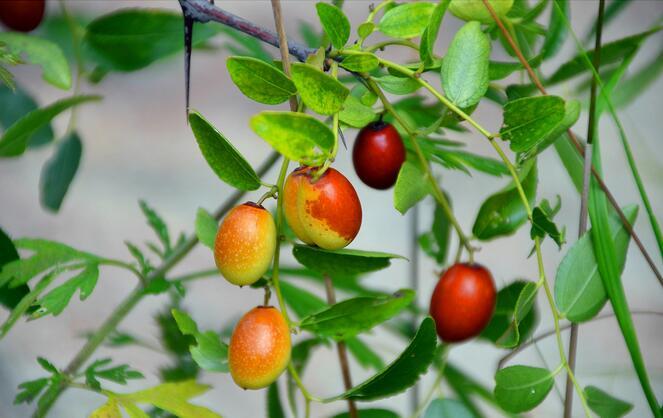 野山枣是什么