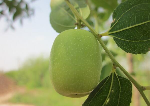 野山枣的主要营养价值