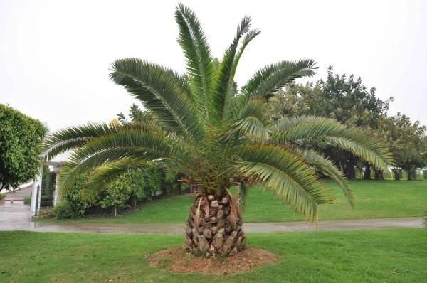 中东海枣树图片