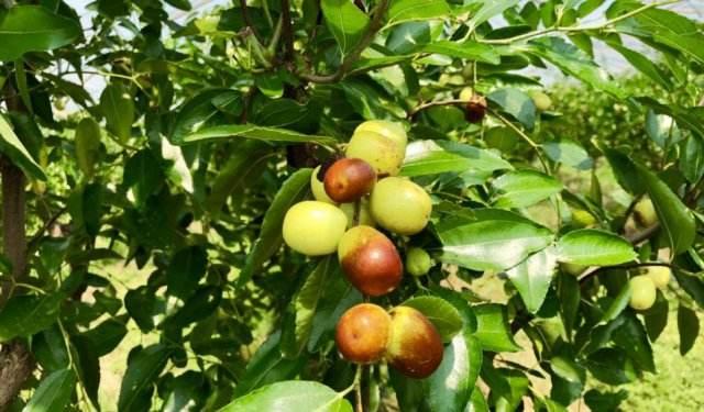 中秋酥脆枣的五大特性