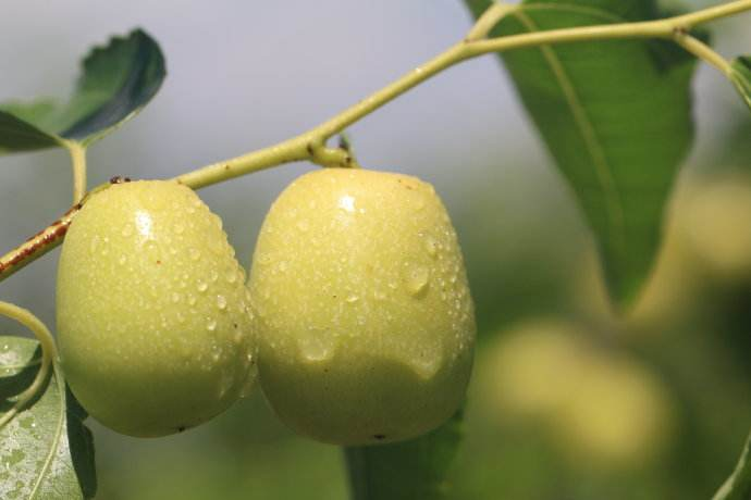 中秋酥脆枣的成熟季节
