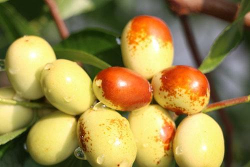 中秋酥脆枣的特征