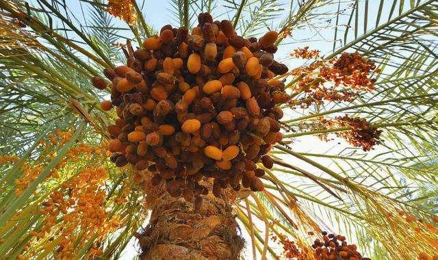 伊拉克椰枣树图片