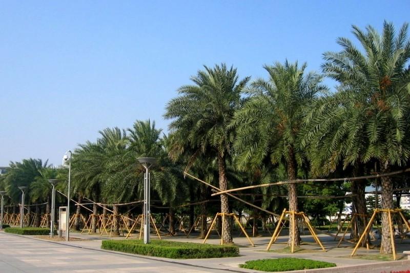 银海枣树图片