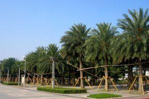 南方常见的中东海枣树图片