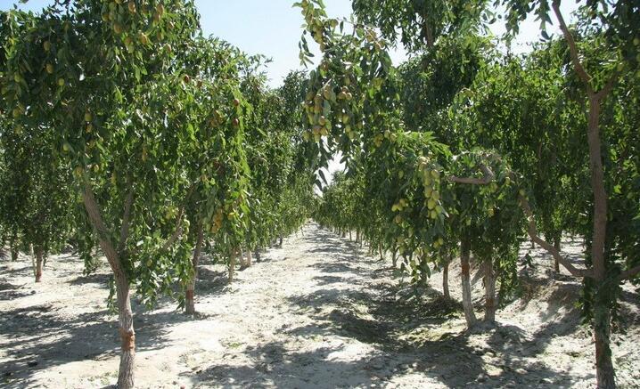 新疆天山枣树林