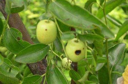 枣树红蜘蛛病虫害防治方法