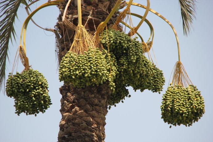 椰枣树分布范围