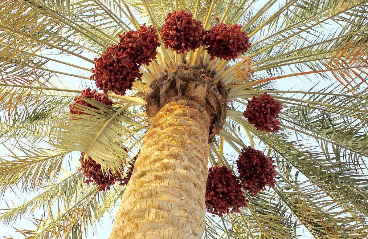 椰枣树图片