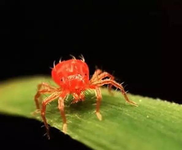 红蜘蛛图片