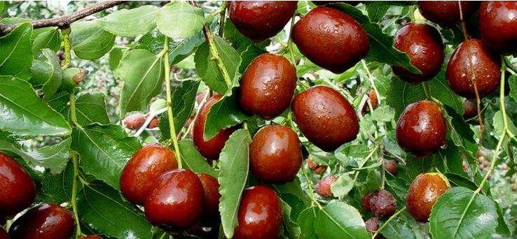 阿克苏红枣成熟图片