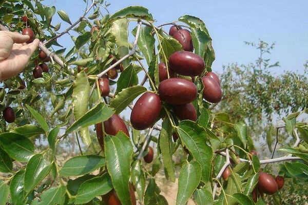 阿克苏红枣的功效与作用