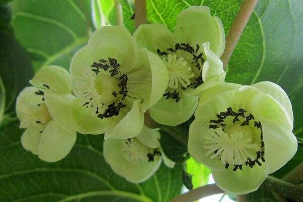 圆枣子开花图片