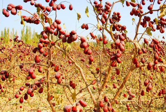新疆红枣树图片