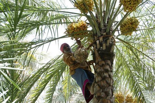 枣椰树图片