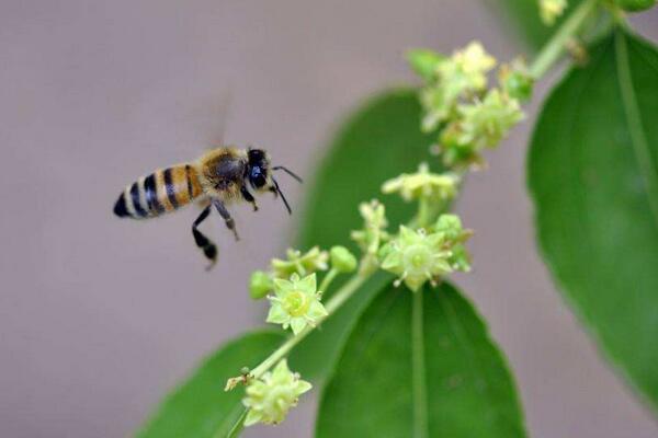 蜜蜂采集枣花蜜