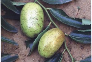 枣叶壁虱的防止方法