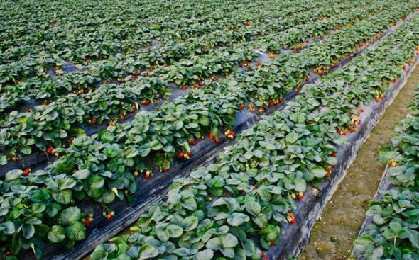 草莓的种植