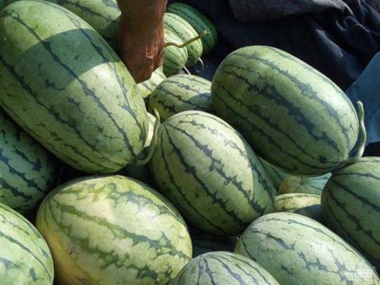 西瓜有哪些品种:早春红玉