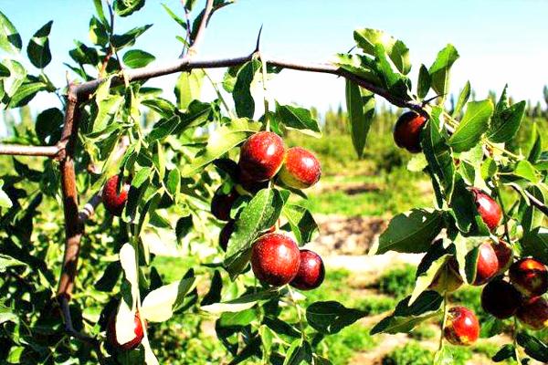 哈密大枣的种植技术
