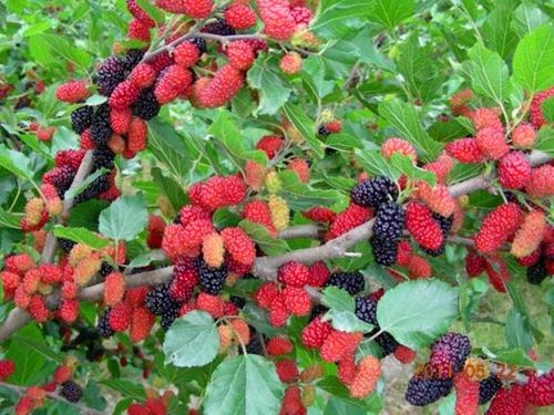 桑枣树图片