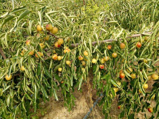冬枣种植的排水管理
