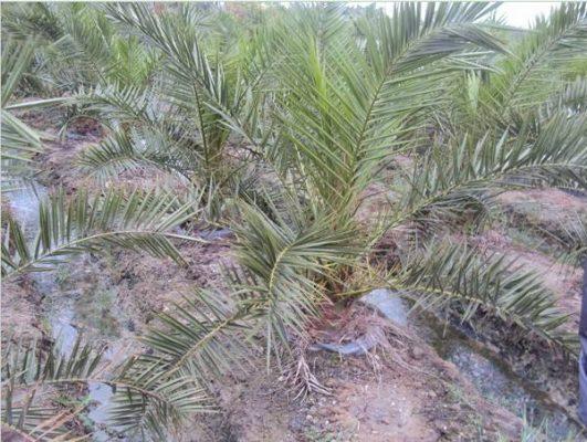 加拿利海枣树根腐病防治