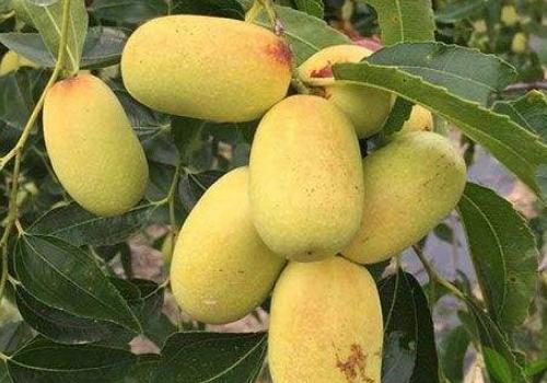 大王枣的品种优势