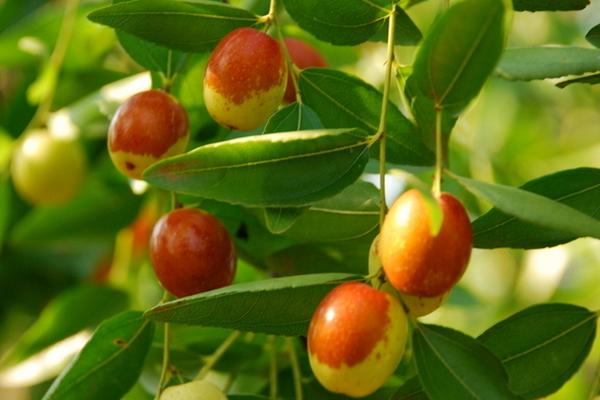 小红枣和大枣的区别