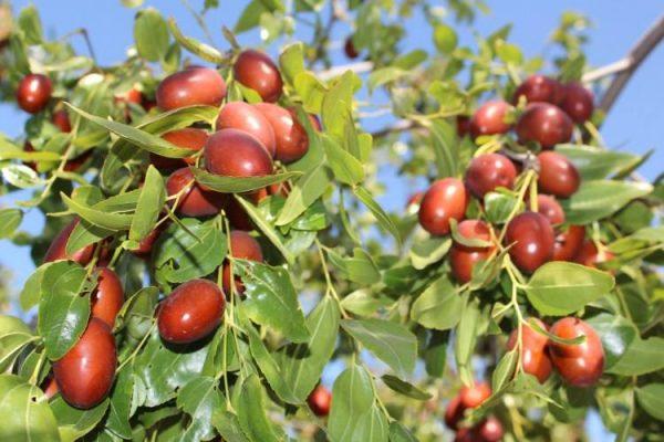 小红枣幼树的种植方法