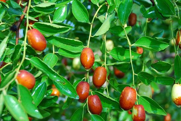 小红枣种植整形修剪