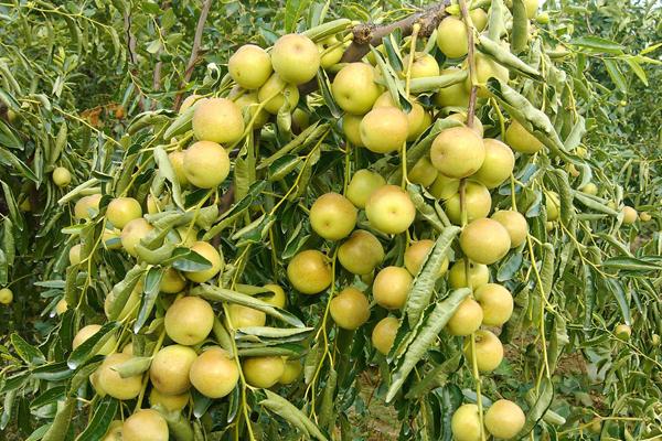 梨枣的种植技术