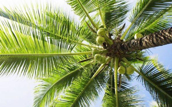 椰子在中国哪里产
