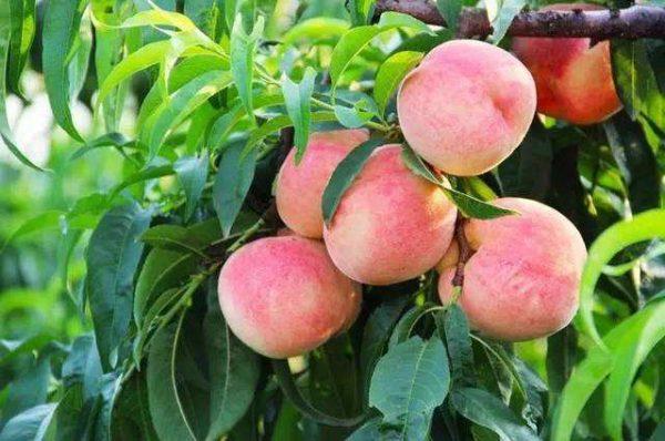 水蜜桃的功效与作用及禁忌
