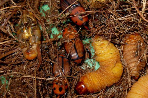 红棕象甲虫图片