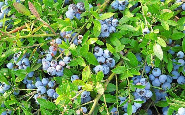 蓝莓种植气候要求