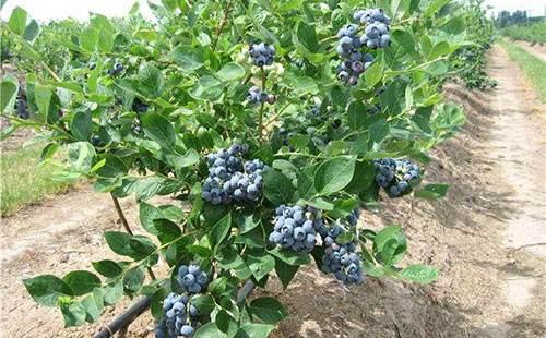 蓝莓移植后补肥