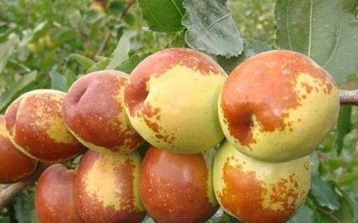 食用梨枣注意事项