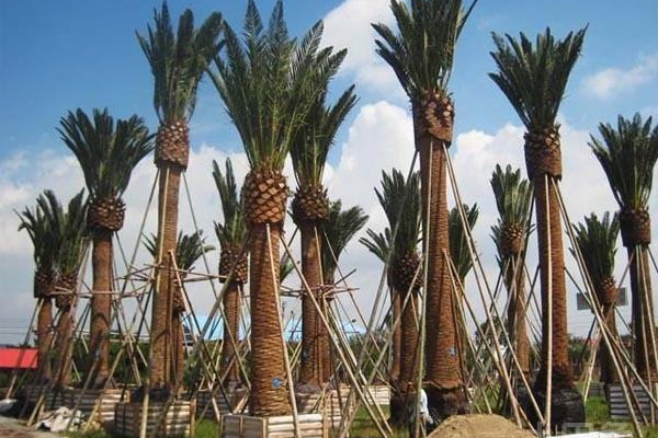 加拿利海枣树栽培养护