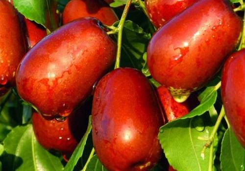 六月鲜鲜枣图片