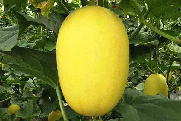 哈密瓜品种红冠